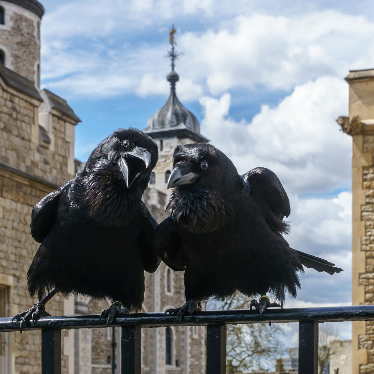 Jubilee and Munin, two of the ravens at the Tower of London (Photo: © User:Colin/Wikimedia Commons)