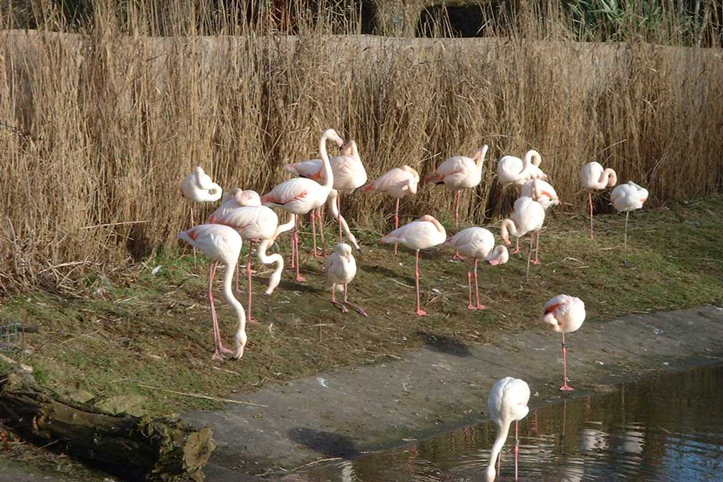 You can see the greater flamingo at the Top Terrace area inside Bristol Zoo. (Photo: Rod Ward [CC BY-SA 2.5])