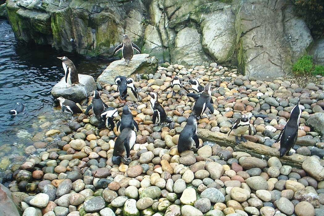 African penguins at Bristol Zoo. (Photo: PiffPuffPickle [CC BY-SA 3.0])