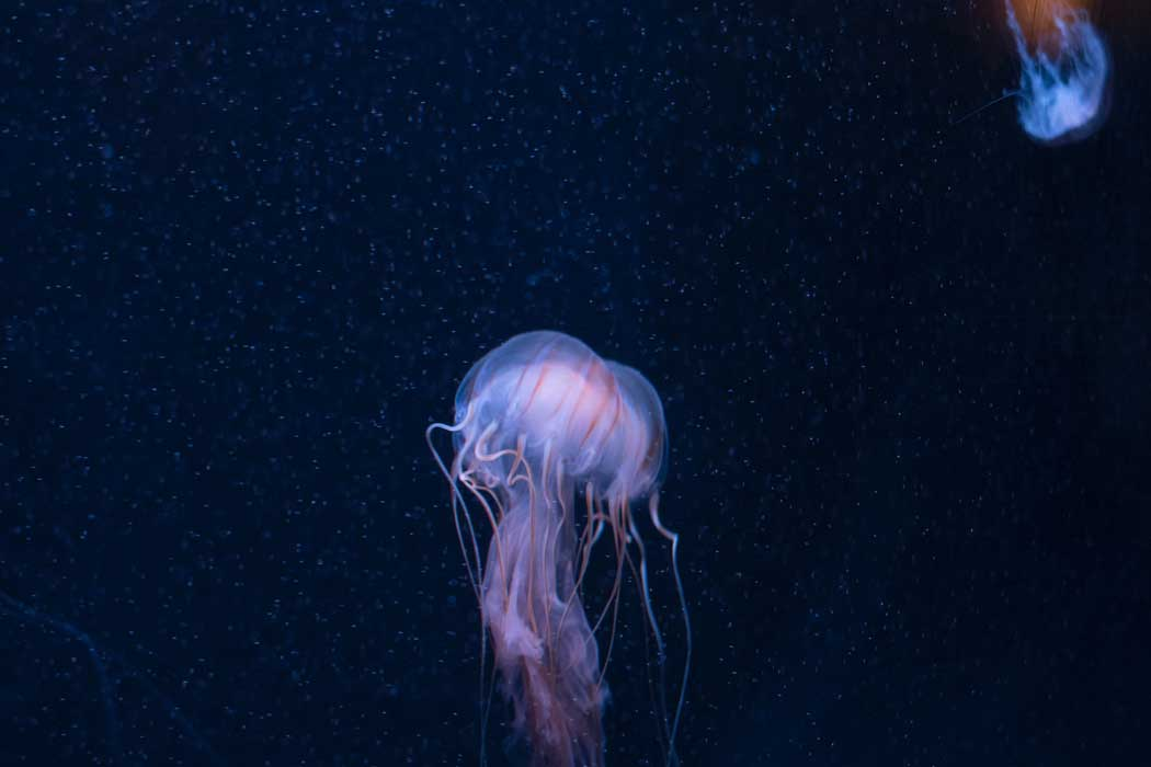 The jellyfish at the Brighton SEA LIFE centre are fed daily at 12 noon (Photo by Yichun Lu on Unsplash)