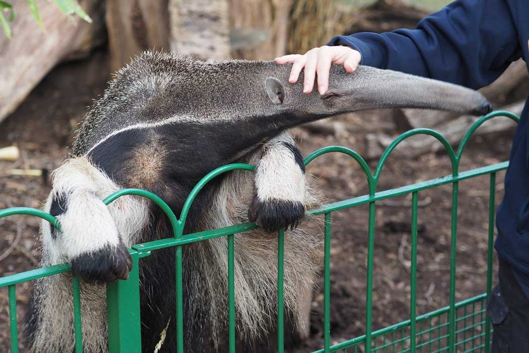 Anteaters are among other animals in the Jungle Kingdom at the Main Square. (Photo: PBernfeld from Pixabay)
