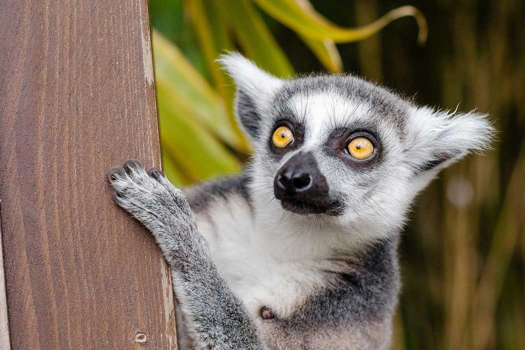 The Discover Madagascar habitat is home to five different species of lemurs including the ring-tailed lemur.